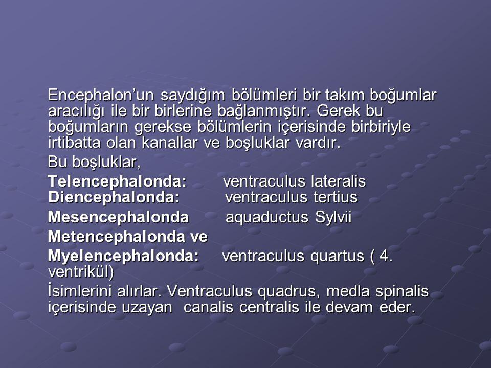 Encephalon'un saydığım bölümleri bir takım boğumlar aracılığı ile bir birlerine bağlanmıştır. Gerek bu boğumların gerekse bölümlerin içerisinde birbiriyle irtibatta olan kanallar ve boşluklar vardır.