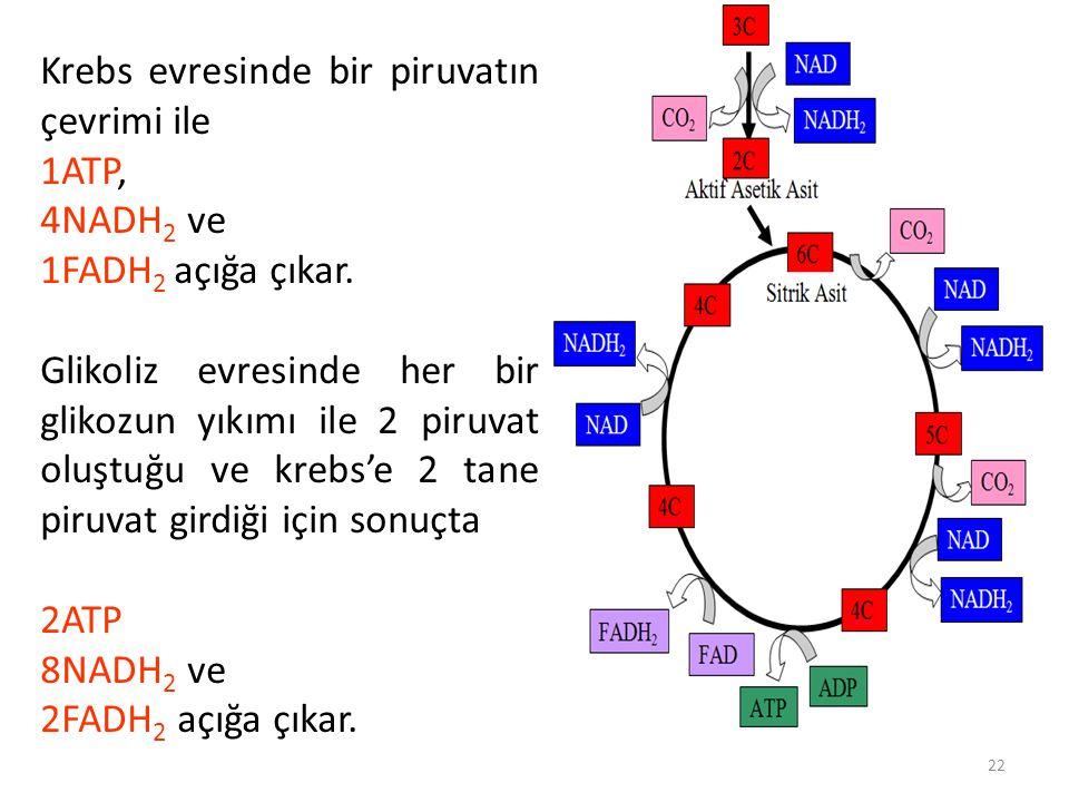 Krebs evresinde bir piruvatın çevrimi ile