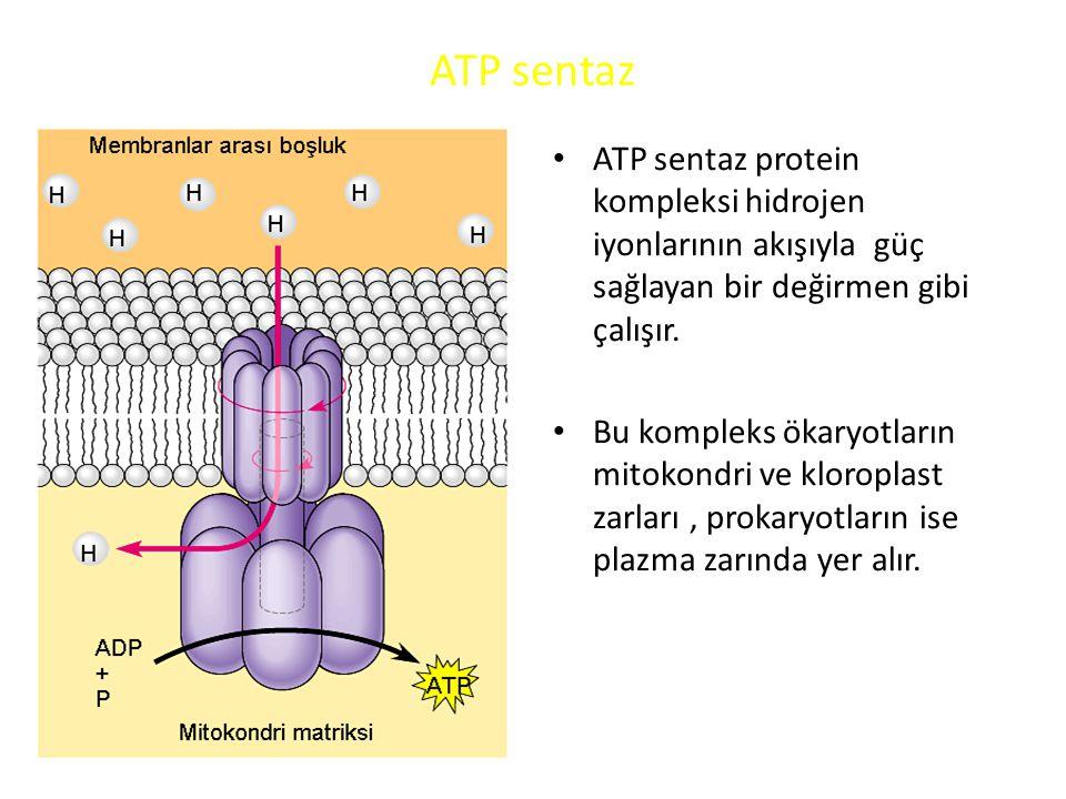 ATP sentaz ATP sentaz protein kompleksi hidrojen iyonlarının akışıyla güç sağlayan bir değirmen gibi çalışır.