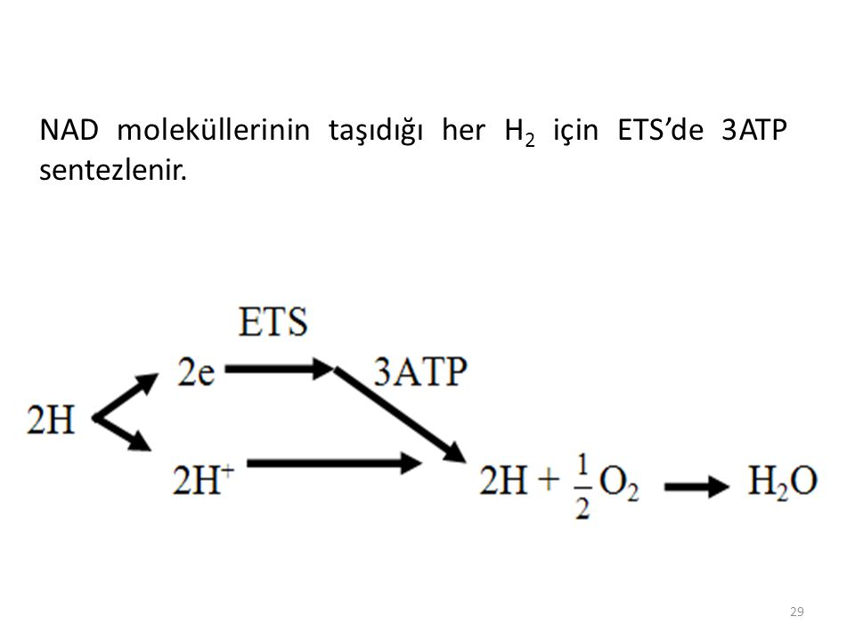 NAD moleküllerinin taşıdığı her H2 için ETS'de 3ATP sentezlenir.