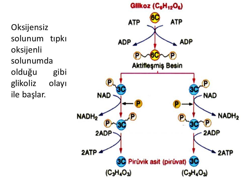 Oksijensiz solunum tıpkı oksijenli solunumda olduğu gibi glikoliz olayı ile başlar.