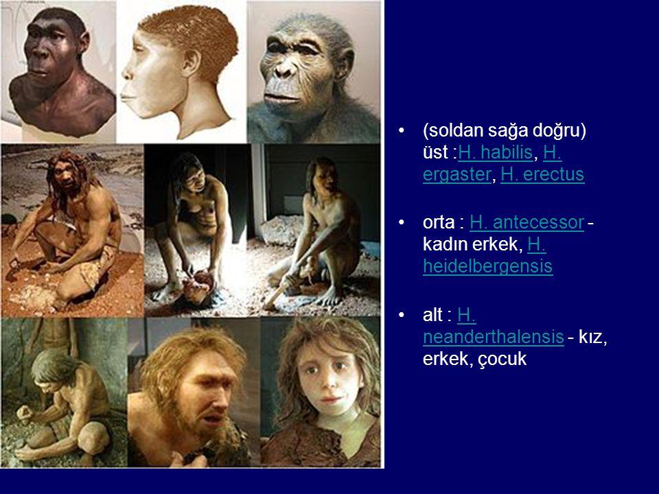 (soldan sağa doğru) üst :H. habilis, H. ergaster, H. erectus