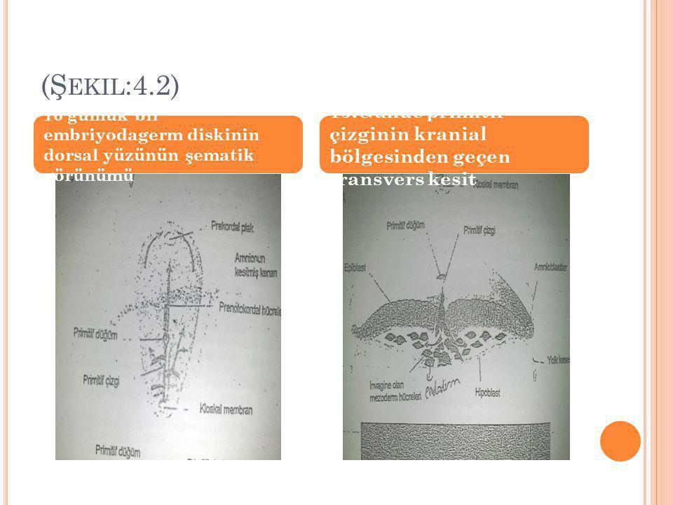 (Şekil:4.2) 16 günlük bir embriyodagerm diskinin dorsal yüzünün şematik görünümü.