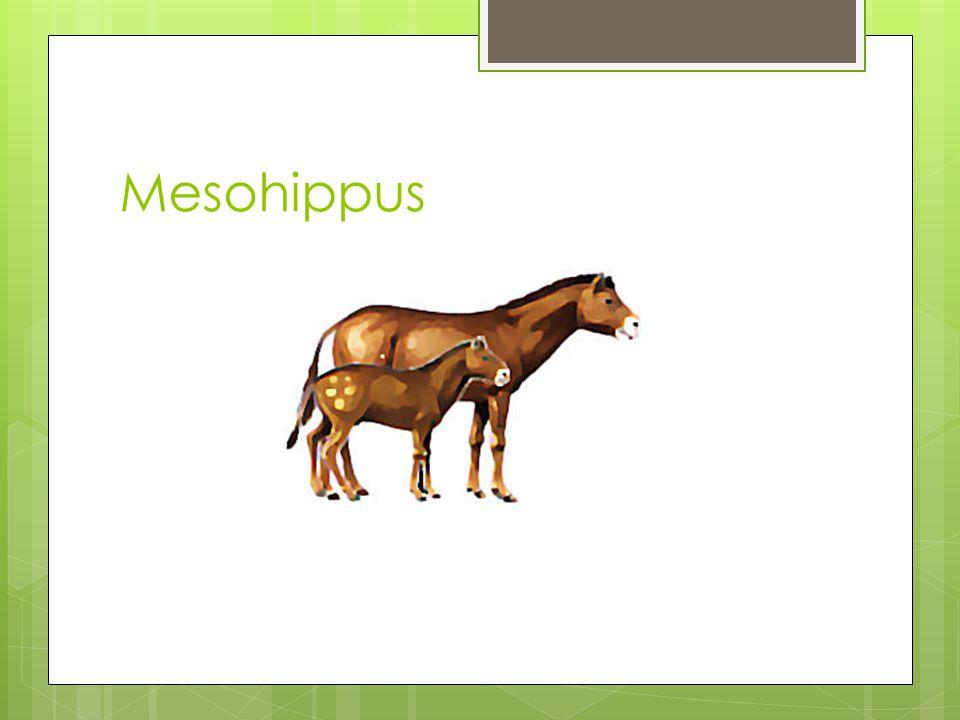Mesohippus 30 milyon yıl önce. Oligosen. Çoban köpeği büyüklüğünde.