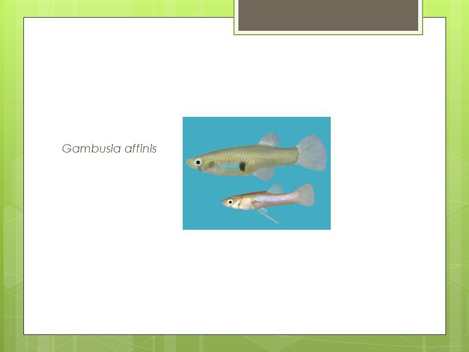 Gambusia affinis