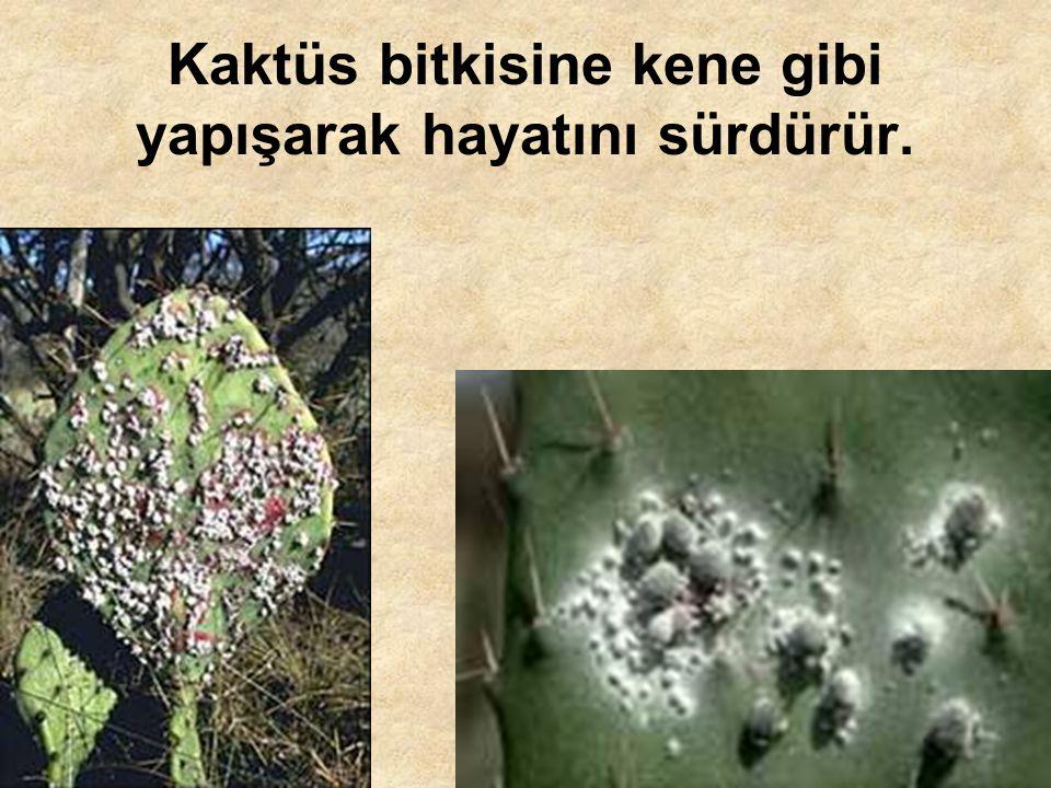 Kaktüs bitkisine kene gibi yapışarak hayatını sürdürür.