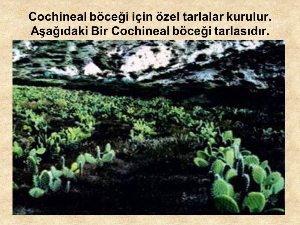 Cochineal böceği için özel tarlalar kurulur