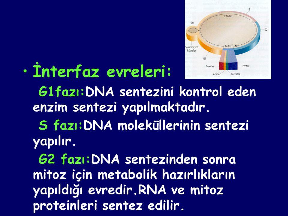 İnterfaz evreleri: G1fazı:DNA sentezini kontrol eden enzim sentezi yapılmaktadır. S fazı:DNA moleküllerinin sentezi yapılır.