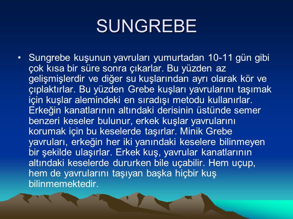SUNGREBE