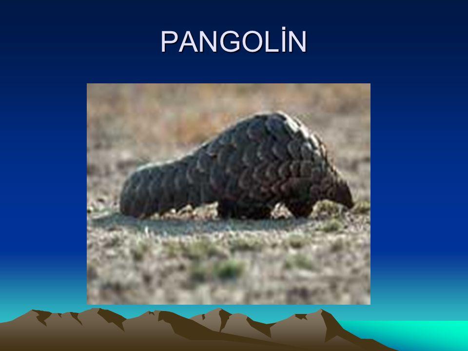 PANGOLİN