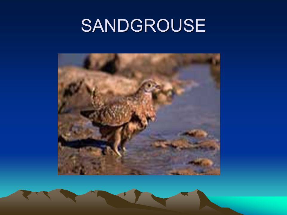 SANDGROUSE