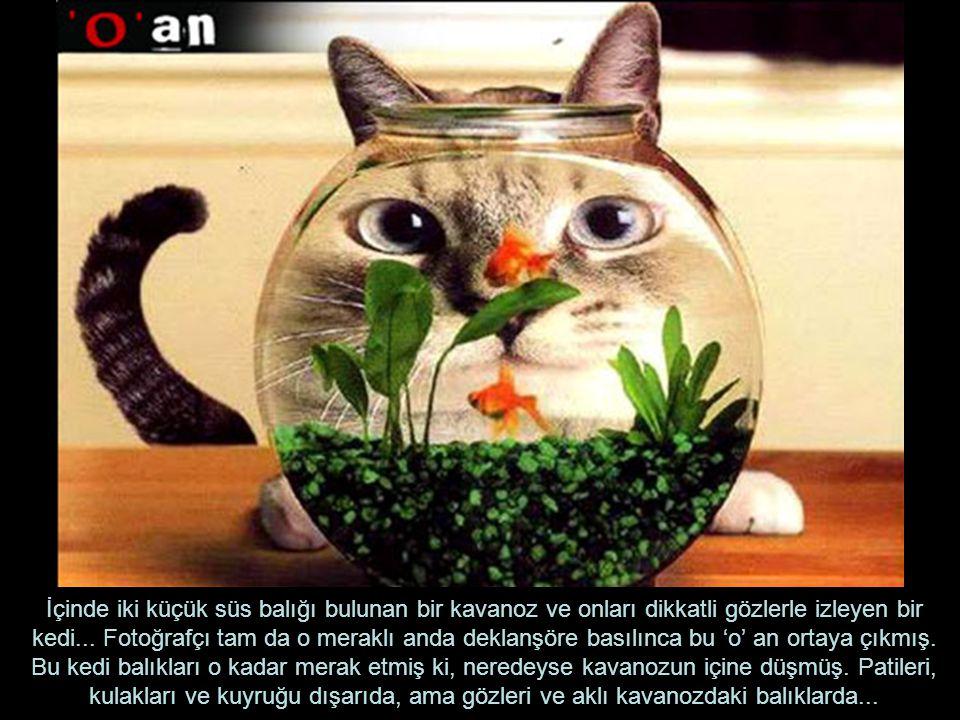 İçinde iki küçük süs balığı bulunan bir kavanoz ve onları dikkatli gözlerle izleyen bir kedi...