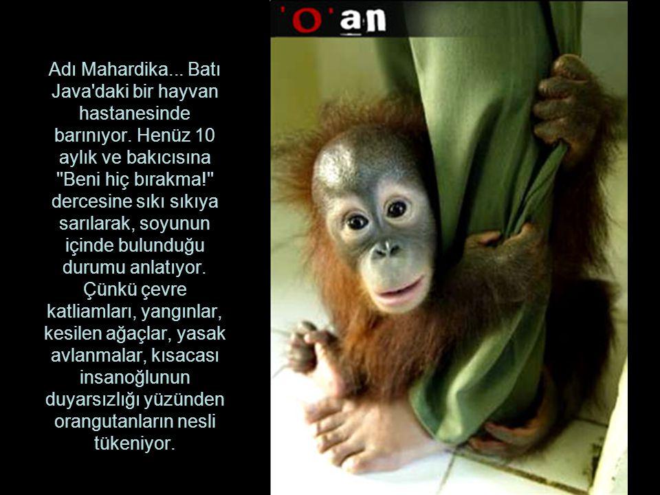 Adı Mahardika. Batı Java daki bir hayvan hastanesinde barınıyor