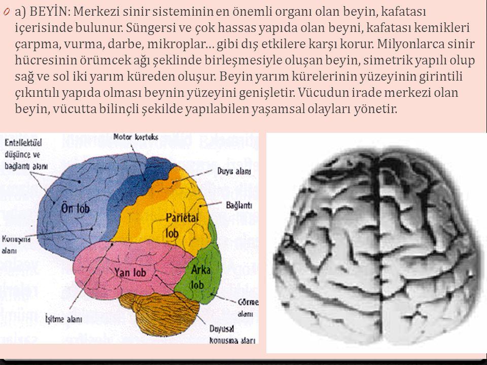 a) BEYİN: Merkezi sinir sisteminin en önemli organı olan beyin, kafatası içerisinde bulunur.
