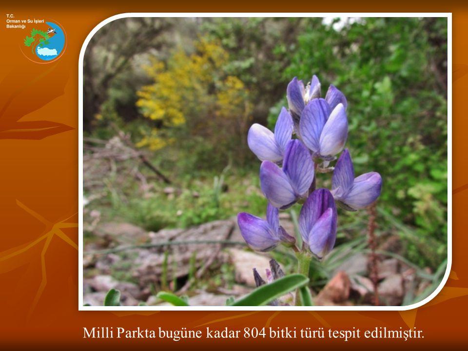 Milli Parkta bugüne kadar 804 bitki türü tespit edilmiştir.