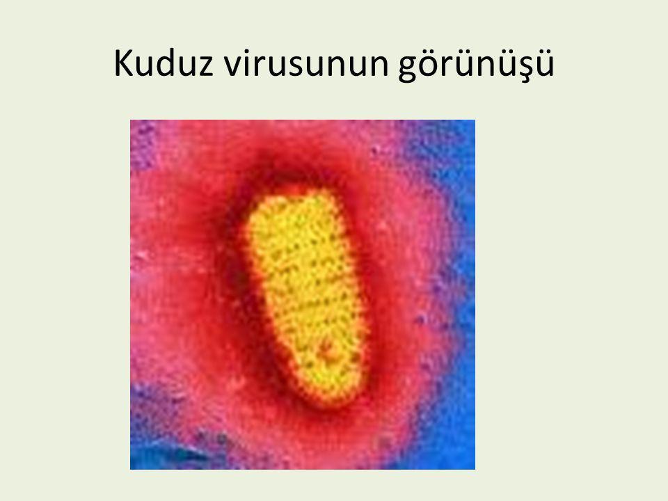 Kuduz virusunun görünüşü