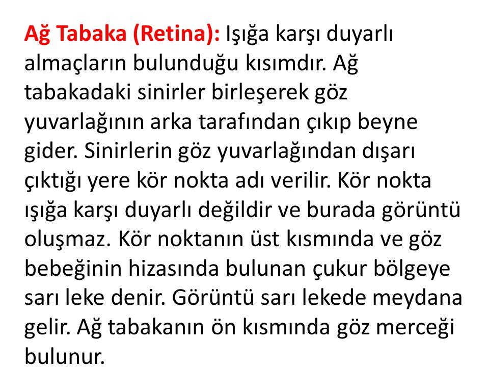 Ağ Tabaka (Retina): Işığa karşı duyarlı almaçların bulunduğu kısımdır