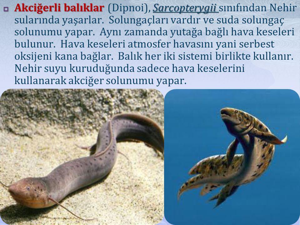 Akciğerli balıklar (Dipnoi), Sarcopterygii sınıfından Nehir sularında yaşarlar.
