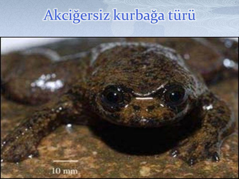 Akciğersiz kurbağa türü