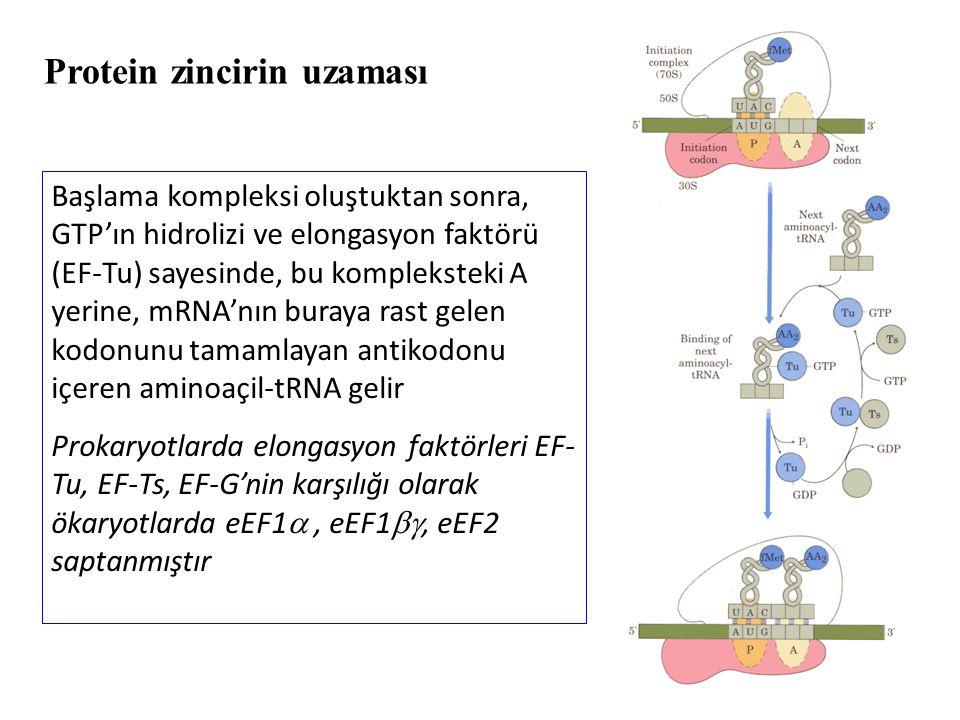 Protein zincirin uzaması