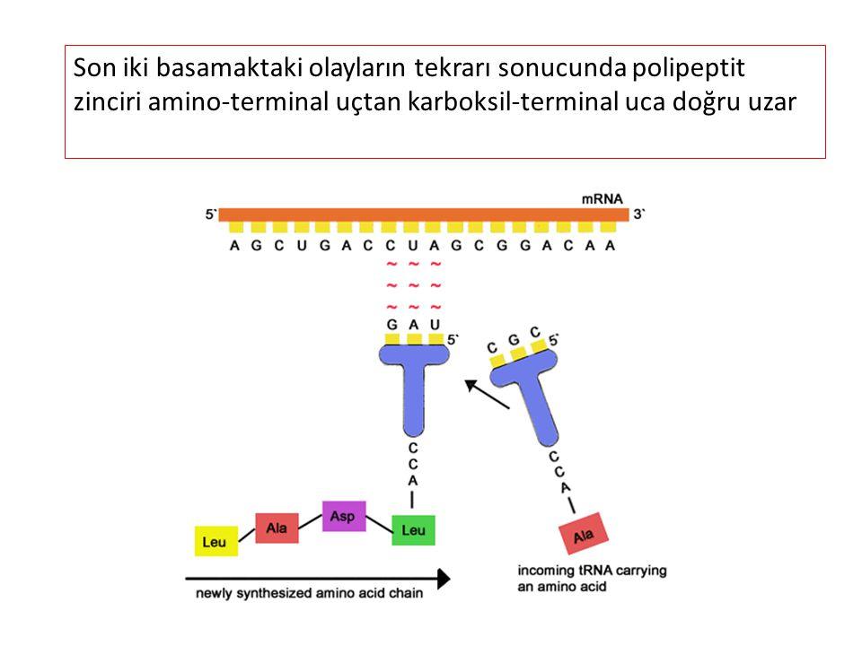 Son iki basamaktaki olayların tekrarı sonucunda polipeptit zinciri amino-terminal uçtan karboksil-terminal uca doğru uzar