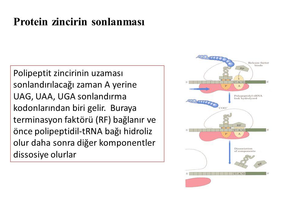 Protein zincirin sonlanması