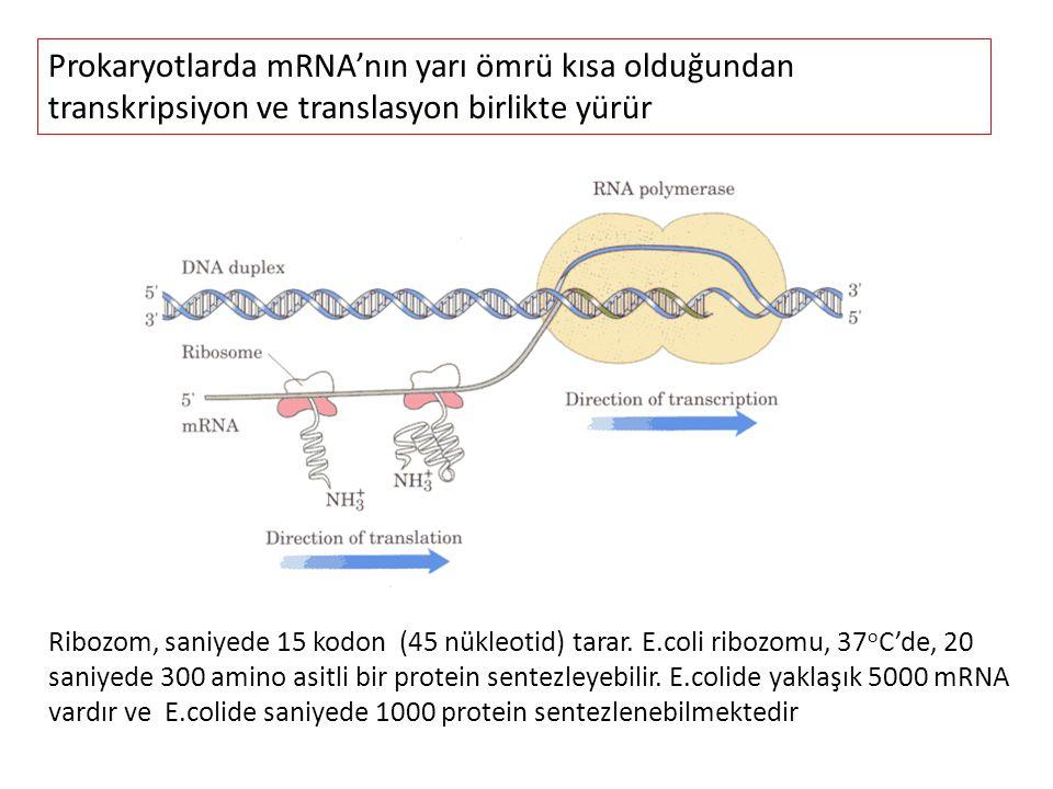 Prokaryotlarda mRNA'nın yarı ömrü kısa olduğundan transkripsiyon ve translasyon birlikte yürür