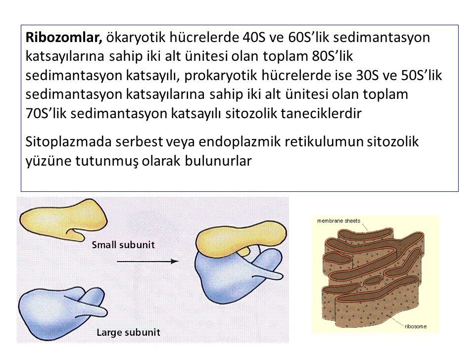 Ribozomlar, ökaryotik hücrelerde 40S ve 60S'lik sedimantasyon katsayılarına sahip iki alt ünitesi olan toplam 80S'lik sedimantasyon katsayılı, prokaryotik hücrelerde ise 30S ve 50S'lik sedimantasyon katsayılarına sahip iki alt ünitesi olan toplam 70S'lik sedimantasyon katsayılı sitozolik taneciklerdir