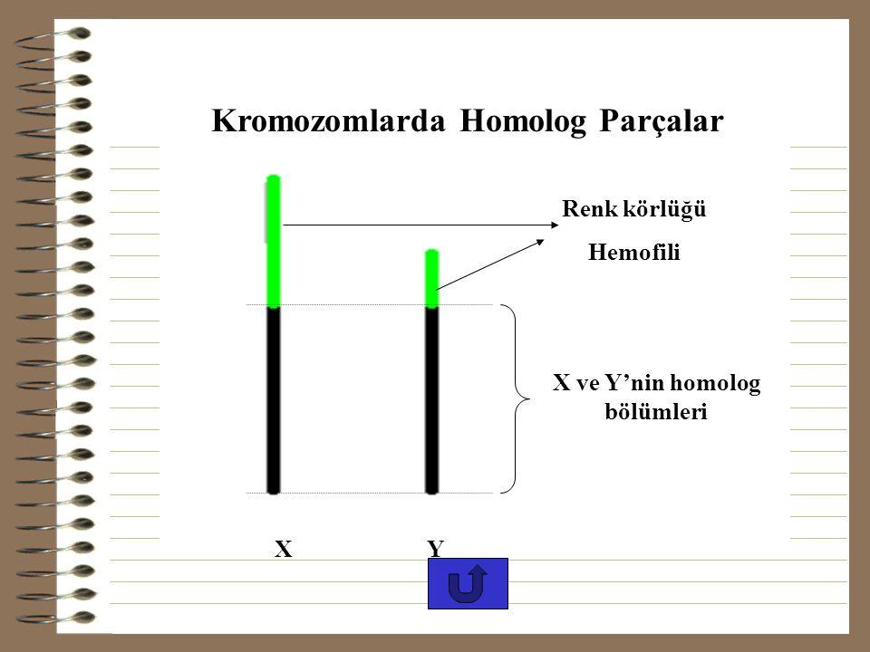 Kromozomlarda Homolog Parçalar X ve Y'nin homolog bölümleri
