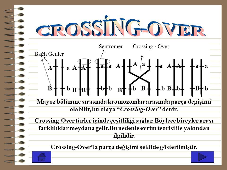 Crossing-Over'la parça değişimi şekilde gösterilmiştir.