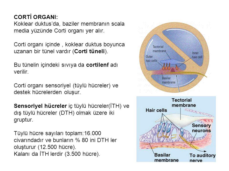 CORTİ ORGANI: Koklear duktus'da, baziler membranın scala. media yüzünde Corti organı yer alır. Corti organı içinde , koklear duktus boyunca.