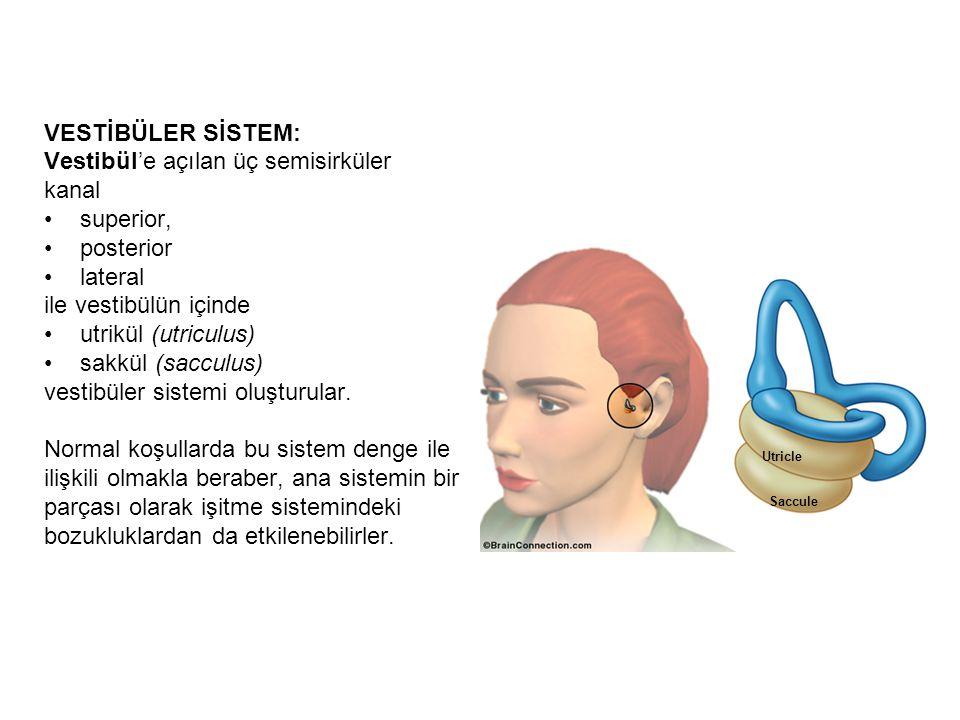 Vestibül'e açılan üç semisirküler kanal superior, posterior lateral