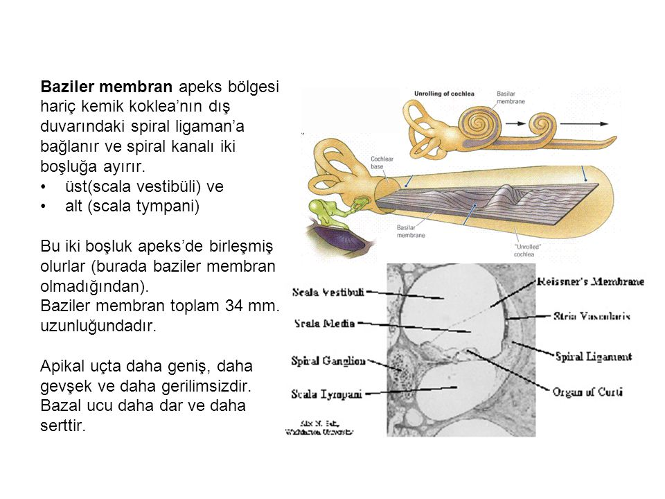 Baziler membran apeks bölgesi
