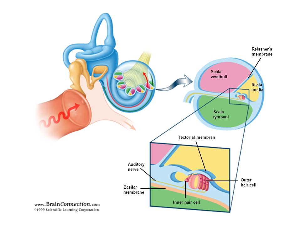 Reissner's membrane. Scala. vestibuli. Scala. media. Scala. tympani. Tectorial membran. Auditory.