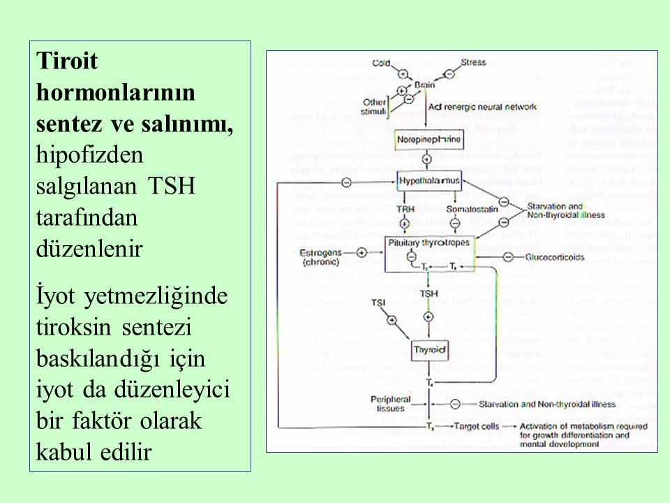 Tiroit hormonlarının sentez ve salınımı, hipofizden salgılanan TSH tarafından düzenlenir