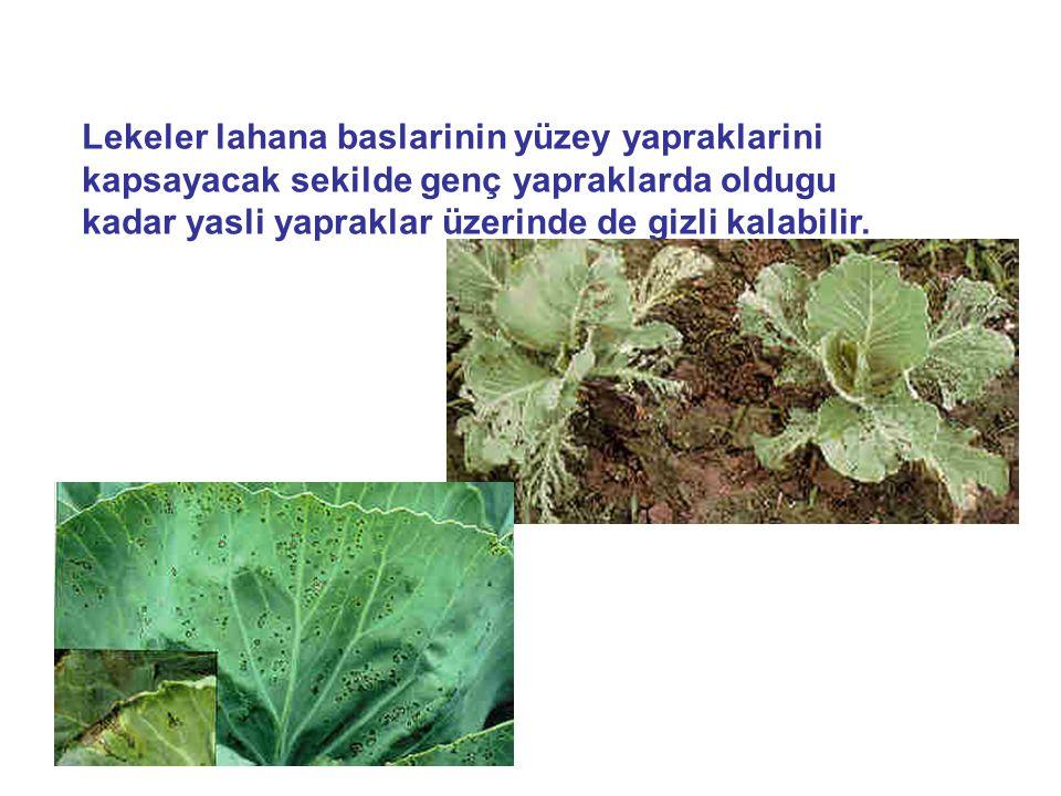 Lekeler lahana baslarinin yüzey yapraklarini