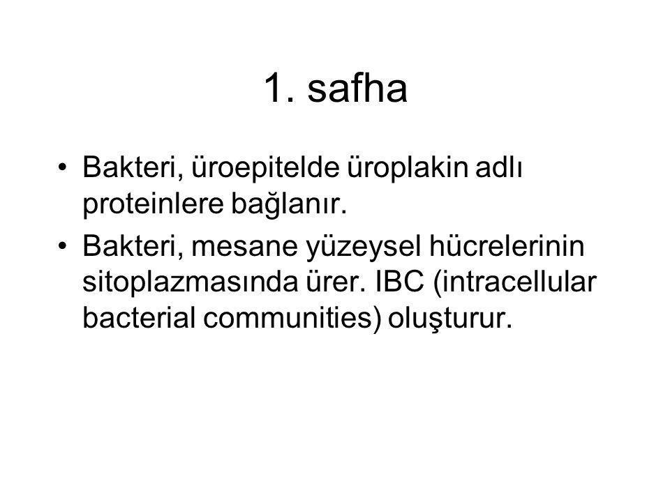 1. safha Bakteri, üroepitelde üroplakin adlı proteinlere bağlanır.