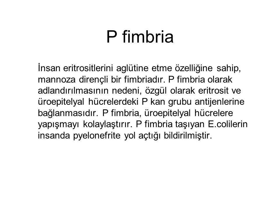 P fimbria