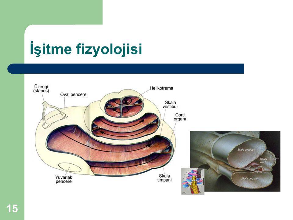 İşitme fizyolojisi