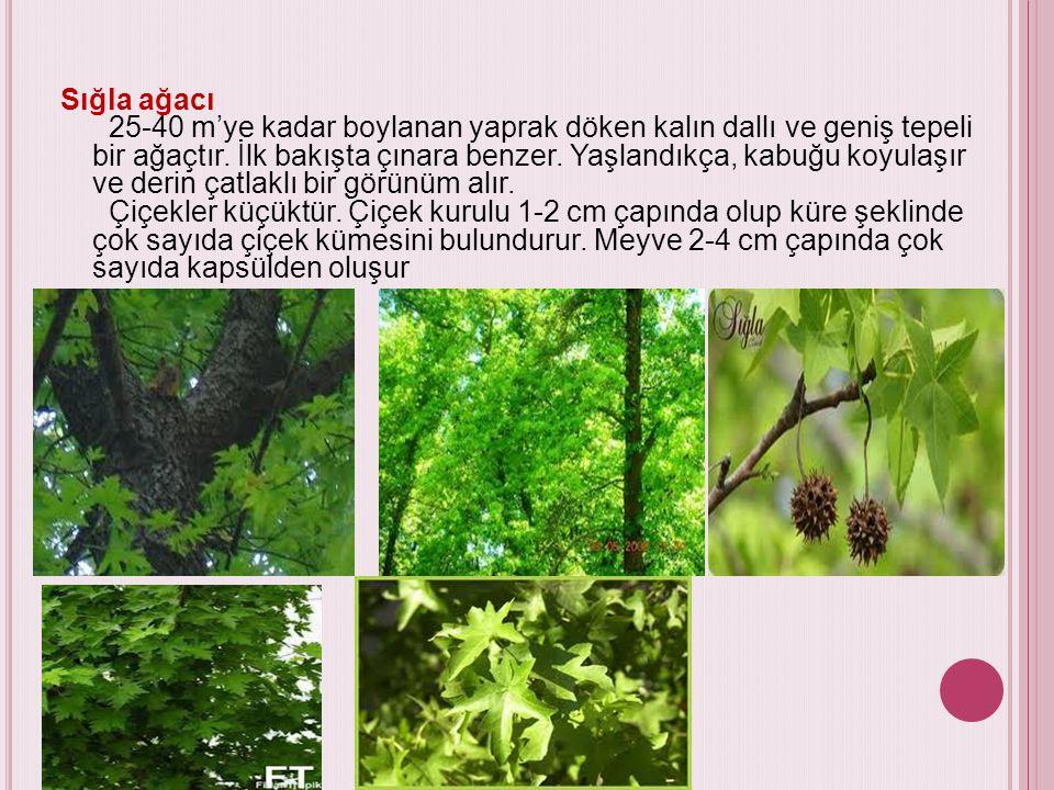 Sığla ağacı 25-40 m'ye kadar boylanan yaprak döken kalın dallı ve geniş tepeli bir ağaçtır.