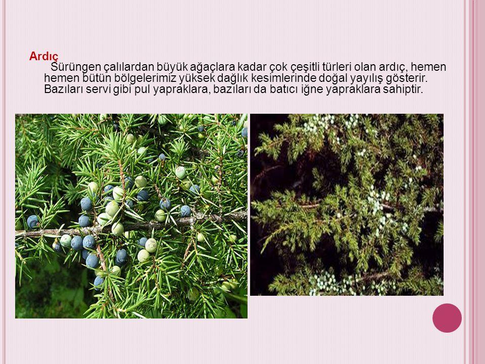 Ardıç Sürüngen çalılardan büyük ağaçlara kadar çok çeşitli türleri olan ardıç, hemen hemen bütün bölgelerimiz yüksek dağlık kesimlerinde doğal yayılış gösterir.