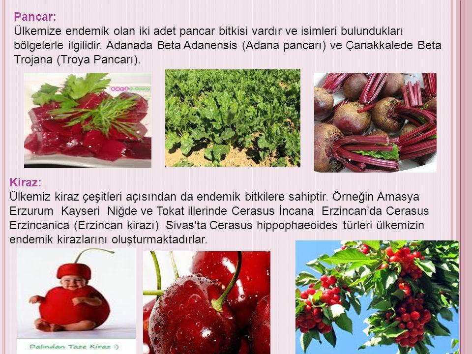 Pancar: Ülkemize endemik olan iki adet pancar bitkisi vardır ve isimleri bulundukları bölgelerle ilgilidir. Adanada Beta Adanensis (Adana pancarı) ve Çanakkalede Beta Trojana (Troya Pancarı).
