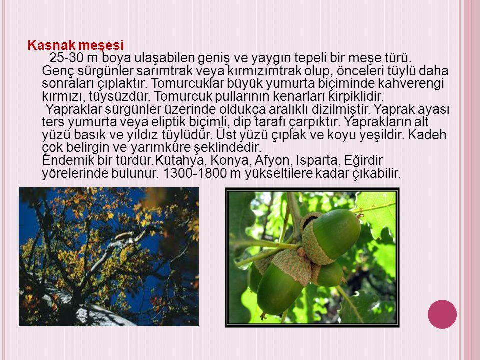 Kasnak meşesi 25-30 m boya ulaşabilen geniş ve yaygın tepeli bir meşe türü.