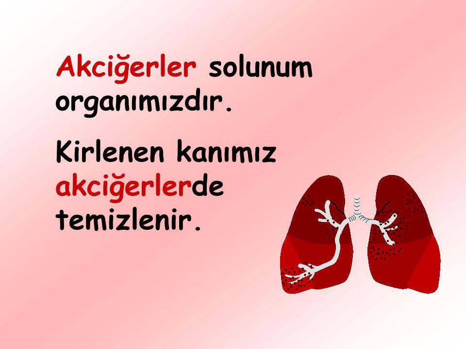 Akciğerler solunum organımızdır.