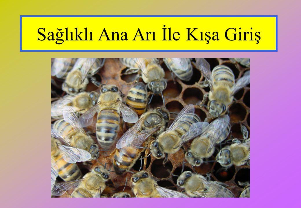 Sağlıklı Ana Arı İle Kışa Giriş