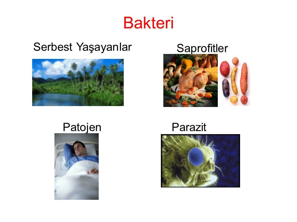 Bakteri Serbest Yaşayanlar Saprofitler Patojen Parazit