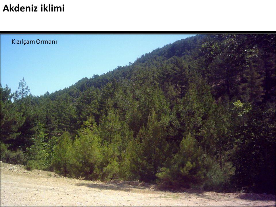 Akdeniz iklimi Kızılçam Ormanı