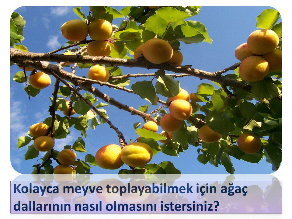Kolayca meyve toplayabilmek için ağaç dallarının nasıl olmasını istersiniz