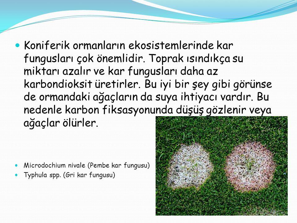 Koniferik ormanların ekosistemlerinde kar fungusları çok önemlidir