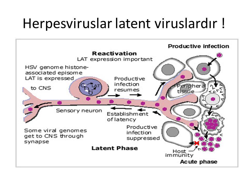 Herpesviruslar latent viruslardır !